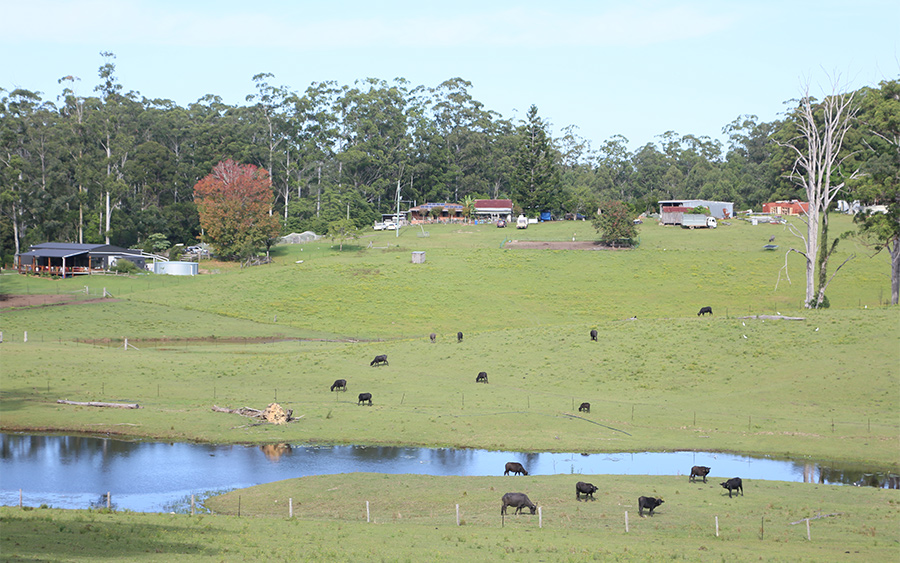 eungai buffalo farm vista