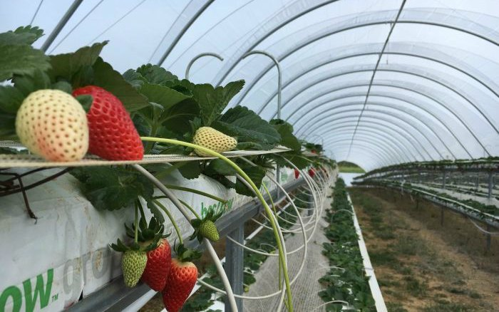 Innovations in Strawberry Growing Mean Improvements for the Industry