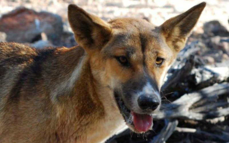 $1.35M to Implement National Wild Dog Action Plan